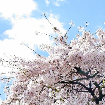 桜がチラホラ