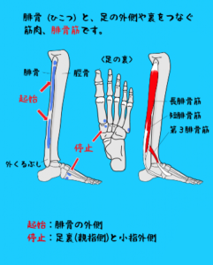 長短腓骨筋